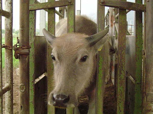 小牛試驗群-耳號419-頭部照片(2)