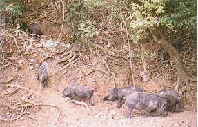 蘭嶼豬保種環境(3)蘭嶼豬保種環境(1)(畜產種原庫及基因交流p10)