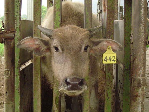 小牛試驗群-耳號442-頭部照片(1)