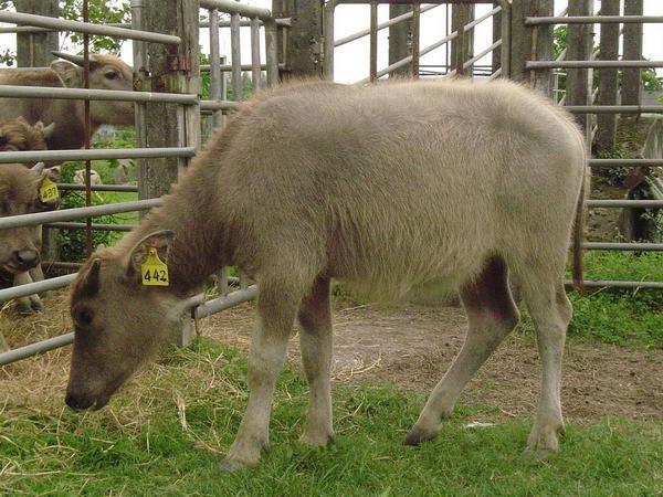 小牛試驗群-耳號442-身體照片(2)